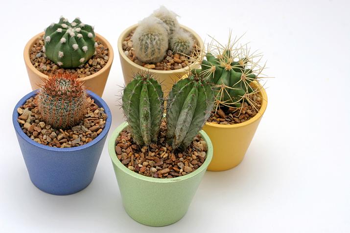 Jak Hodować Kaktusy Porady Siewiepl